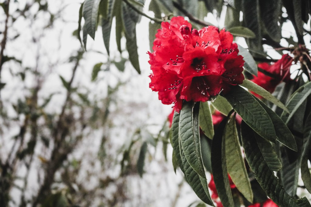 flower season at barsey rhododendron
