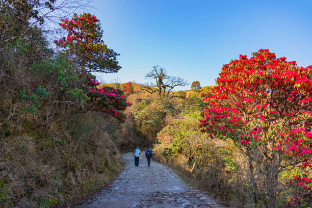 The two men are hiking in nature trails and the notable blossoms of the rhododendron flower buds  at sandakphu.